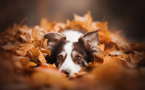 Picture autumn, look, face, leaves, foliage, dog, The border collie