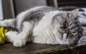 Picture cat, cat, look, pose, Board, lies, grey, Persian