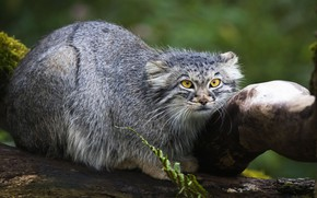 Picture look, face, nature, pose, wild cat, manul