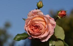 Picture flower, background, rose, garden, Bud, peach