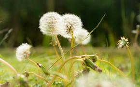 Picture summer, flowers, glade, dandelions, bokeh