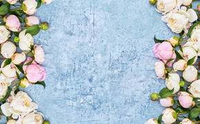 Picture background, blue, pink, buds, peonies