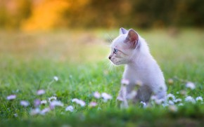 Picture cat, white, flowers, kitty, kitty, clearing