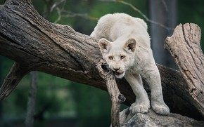 Picture white, look, pose, tree, Leo, lioness, lion, lion, bitches, young, teen