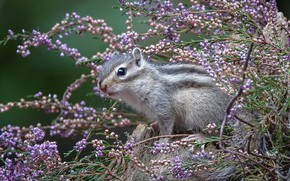 Picture look, flowers, Chipmunk, face, bokeh, Heather