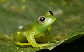 Picture macro, background, leaf, frog, green