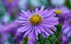 Picture flower, macro, Astra, lilac, bokeh