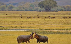 Picture Hippo, Africa, tournament, Hippo