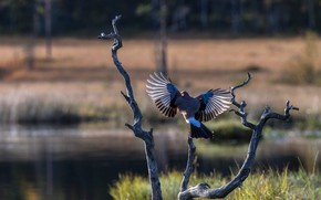 Picture forest, light, branches, nature, pose, tree, shore, dove, wings, feathers, snag, pond, the scope