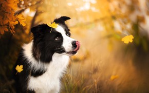 Picture autumn, leaves, nature, animal, dog, dog, the border collie