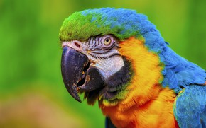 Picture portrait, bright, Ara, look, parrot, bird, green background
