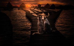 Picture sea, dogs, sunset, pair, bridges, two dogs, The border collie