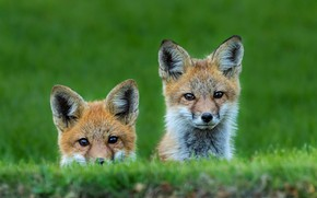 Picture greens, grass, pair, Fox, kids, a couple, two, faces, Fox, Fox, cubs, look out, two …