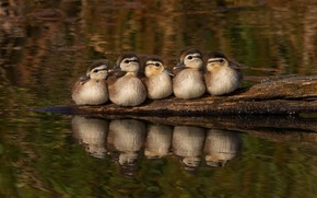 Picture birds, reflection, duck, company, ducklings, duck, chick, Chicks, pond, duck, sitting, brood