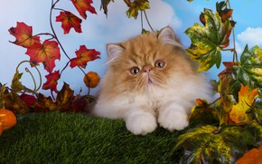 Picture cat, look, leaves, kitty, fluffy, baby, red, muzzle, kitty, blue background, Persian, extreme, red eyes