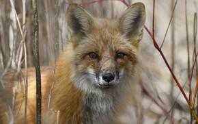 Picture look, face, close-up, branches, portrait, Fox, bokeh