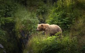 Wallpaper greens, summer, grass, look, nature, pose, open, vegetation, slope, bear, hill, bear, bear, walk, the ...