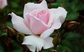 Picture macro, pink, tenderness, rose, petals