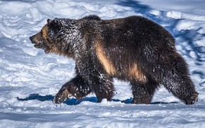 Picture snow, bear, bear