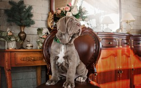 Picture flowers, branches, room, animal, roses, spruce, dog, mirror, chair, puppy, table, dog, Ekaterina Kikot, мастино