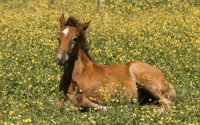 Picture horse, meadow, foal