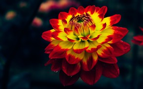 Picture flower, macro, the dark background, two-tone, Dahlia, bright, yellow red