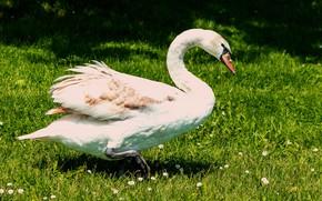 Picture greens, white, summer, light, bird, glade, Swan