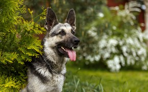 Picture language, grass, branches, pose, dog, collar
