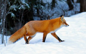 Picture winter, forest, snow, nature, pose, Fox, the snow, profile, red, walk, Fox