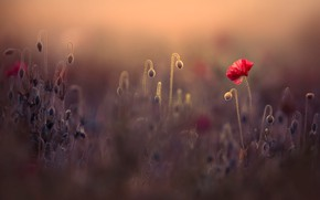 Picture field, summer, light, flowers, nature, background, stems, glade, Mac, Maki, blur, meadow, beautiful, red, bokeh, …