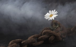 Picture flower, Daisy, chain