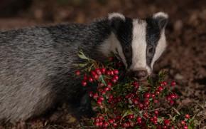 Picture look, face, berries, the dark background, portrait, fruit, badger