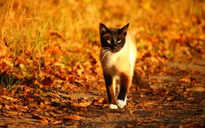 Picture autumn, cat, cat, look, leaves, light, glade, foliage, yellow, walk, falling leaves, path, bokeh, Siamese, …