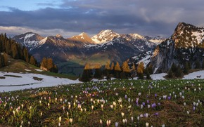 Picture snow, flowers, mountains, spring, crocuses