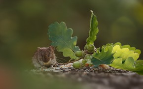 Picture leaves, nature, mouse, bokeh, animal, rodent, acorns