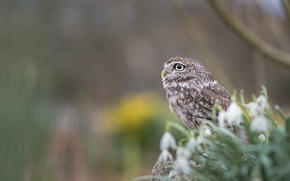 Picture look, background, owl, bird, snowdrops, profile, bokeh, owl