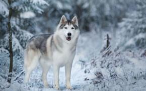 Picture winter, snow, trees, nature, animal, dog, husky, dog, Anna Oris