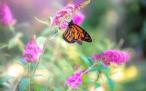 Picture flowers, nature, butterfly, bokeh, Monarch