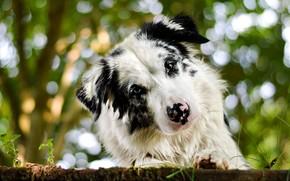 Picture look, face, background, portrait, dog, bokeh, Aussie