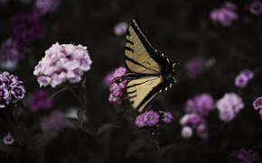 Picture macro, flowers, nature, the dark background, butterfly, insect, pink, carnation, bokeh, swallowtail