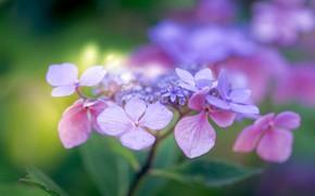 Picture macro, bokeh, hydrangea, inflorescence