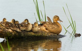 Picture birds, stay, snag, log, ducklings, duck, Chicks, pond, mother, brood, fledglings