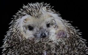 Picture background, barb, hedgehog, face