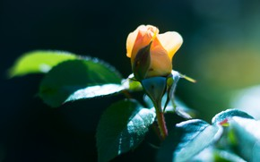 Picture yellow, rose, Bud