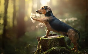 Picture forest, paw, moss, stump, dog, bokeh, Dachshund