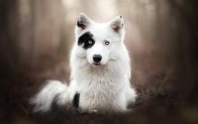 Picture look, face, dog, bokeh, The Yakutian Laika