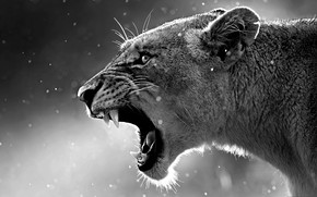 Picture cat, teeth, Leo, mouth, lioness