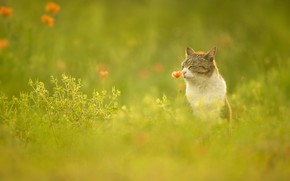 Picture greens, cat, flower, summer, grass, cat, face, flowers, grey, glade, Mac, Maki, meadow, sitting, striped, …