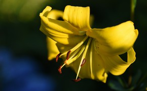Picture the dark background, Lily, yellow