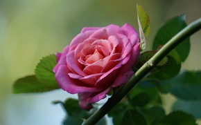 Picture leaves, pink, rose